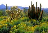 (DES11) Chain Cholla, Brittle Bush, and Organ Pipe Cactus, Organ Pipe Cactus N. M., AZ