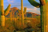 (DES13) Saguaros, Organ Pipe Cactus N. M., AZ