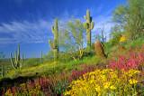 (DES16) Owl clover and brittlebush, near Wickenburg, AZ
