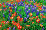 (TW1) Bluebonnets and Texas paintbrush, Washington County, TX
