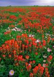 (TW5) Texas paintbrush and Mexican primrose, Washington County, TX