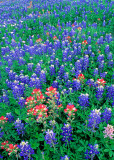 (TW6) Texas paintbrush and Bluebonnets, Lee County, TX