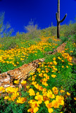 (DES17) Poppies and fallen Saguaro,  Lake Pleasant,  AZ