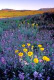 (DES22) Desert marigold and stock, Sycamore Canyon Road, AZ