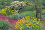 (DES 27) Brittle bush, owl clover, chain cholla, and saguaro cactus, Organ Pipe Cactus National Park, AZ