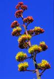 (DES23) Agave, Bell Rock Trail, Sedona, AZ