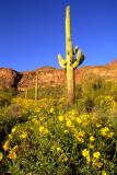 (DES28) Brittle bush and saguaro, Silly Mountain Park, AZ
