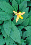(MW51) Trout lily, Higginbotham Woods, Will County, IL