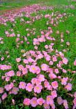 (TW16) Mexican primroses, Live Oak County, TX