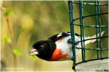 Rose-breasted Grosbeak stops in for a refueling