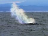 Humpback Whale rainbow