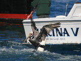 Fishing boat and Brown Pelican