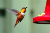 Hummingbird_Rufous