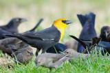 Blackbird_Yellow-headed