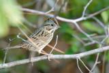 Sparrow_Lincoln's