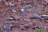 Sparrow_White-throated   Partially Leucistic