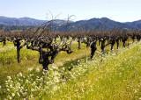 More Old Vines r.jpg