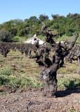 The Old Vines r.jpg