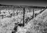Vineyards r.jpg
