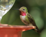 Broad-tailed Hummingbird, male