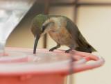 Lucifer Hummingbird, female
