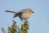 Miscellaneous Songbirds