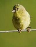 Lesser Goldfinch, female