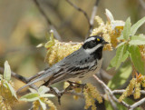 Black-throated Gray Warbler, male