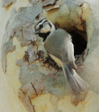 Bridled Titmouse at nest