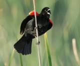 Red-winged Blackbird, singing male