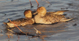 Northern Pintails, females fighting
