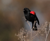 Red-winged Blackbird, bicolored male singing