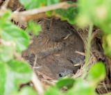Dark-eyed Junco nest, April 2010