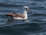 Birds -- Monterey Bay Pelagic, May 8, 2010