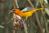 Bullock's Oriole, male with insect