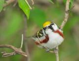 Birds -- Magee Marsh, Ohio, May 2010