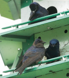 Purple Martins, pair and male
