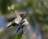 Anna's Hummingbirds, mating