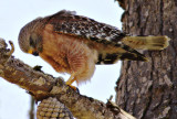 Red-shouldered Hawk, feeding