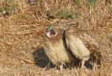 Burrowing Owls, juveniles
