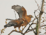 Red-shouldered Hawks, pair
