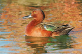 Cinnamon Teal, first-cycle male