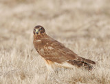Northern Harrier, female (or juvenile?)