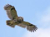 Barred Owl, flying