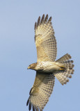Red-shouldered Hawk, Florida, first winter