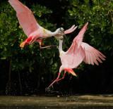 Roseate Spoonbills, males fighting