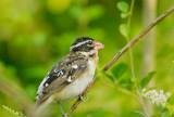 Rose-breasted Grosbeak. first-spring male(?)