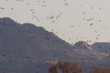 Great Pacific Flyway  - _MG_3205Gray Lodge NWR, Sacramento Valley.jpg
