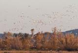 Snow Geese in flight  - _MG_3222Gray Lodge NWR, Sacramento Valley.jpg