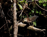 Green Heron - Third Try on a Massive Fish